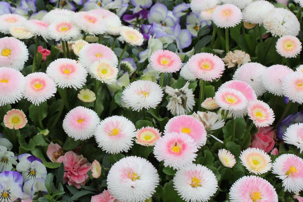 Маргаритка: описание и правила ухода за цветком