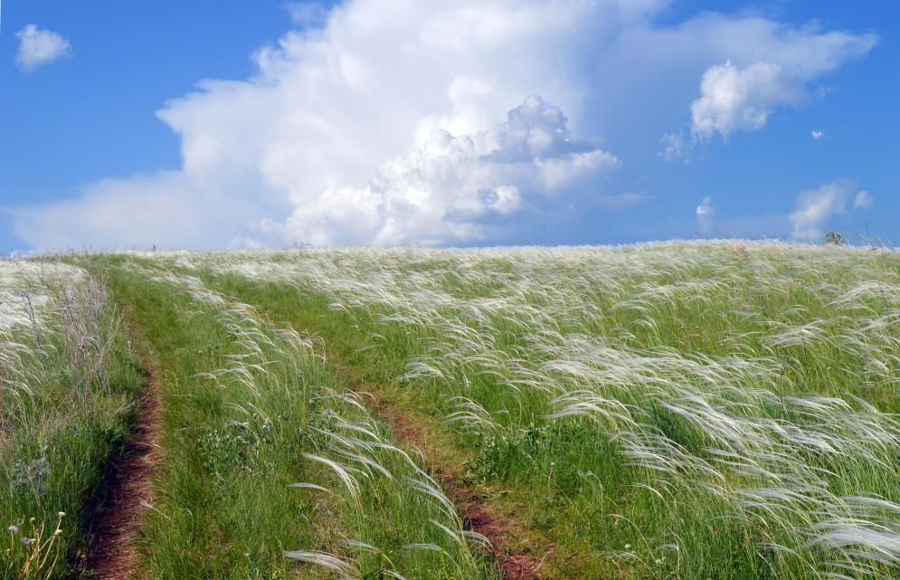 Ковыль степной в поле