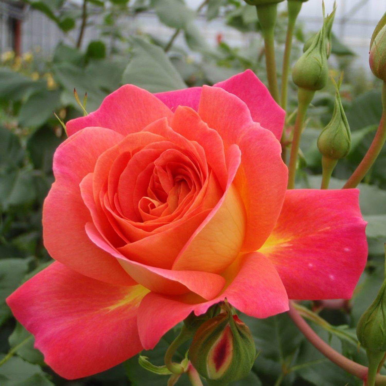 роза тантау плетистая