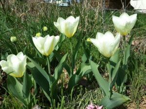 тюльпаны фостера фото