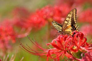 цветок ликорис посадка и уход