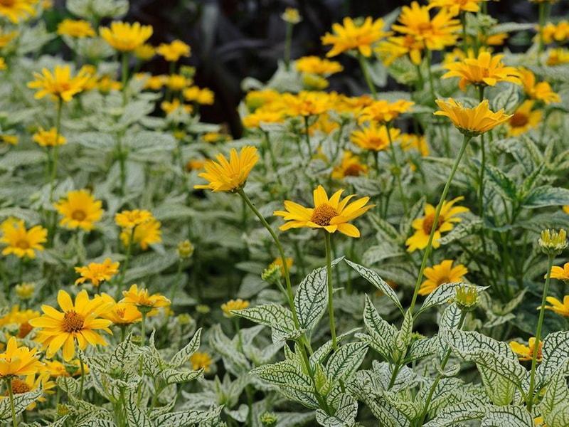 Гелиопсис: описание и выращивание растения