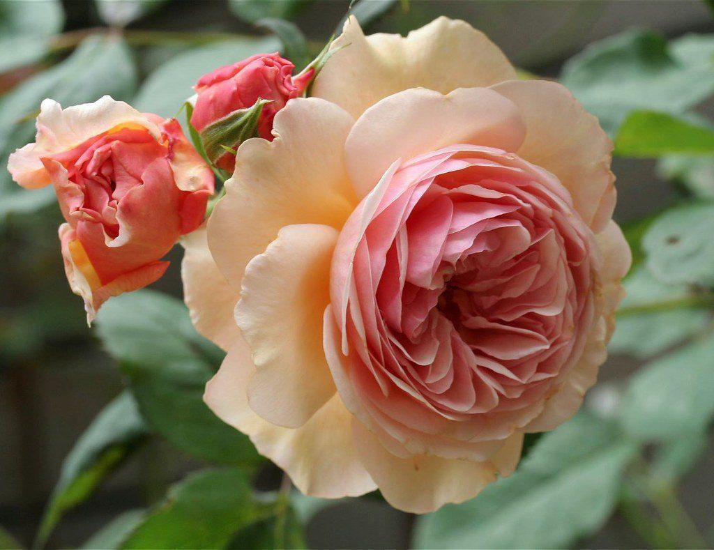 Посадка роз Остина