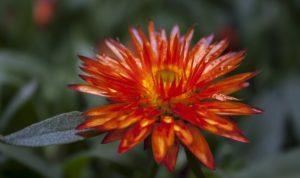 цветок гелихризум