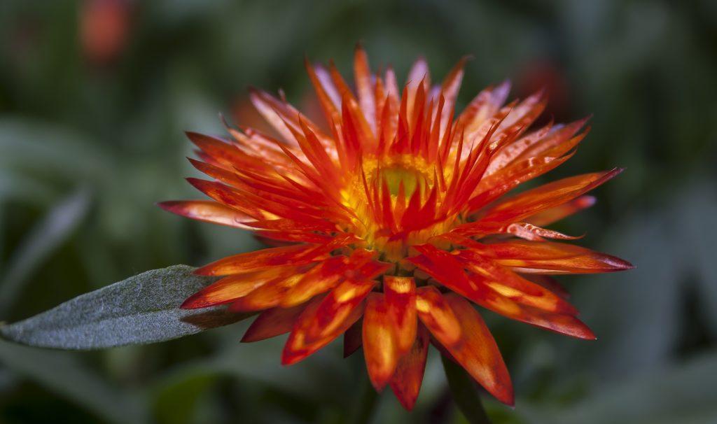 Гелихризум: описание растения и особенности выращивания