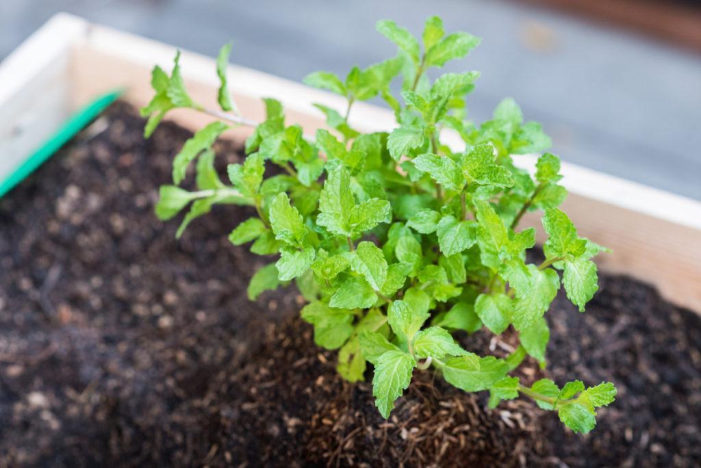 Мята перечная: полезные свойства и выращивание