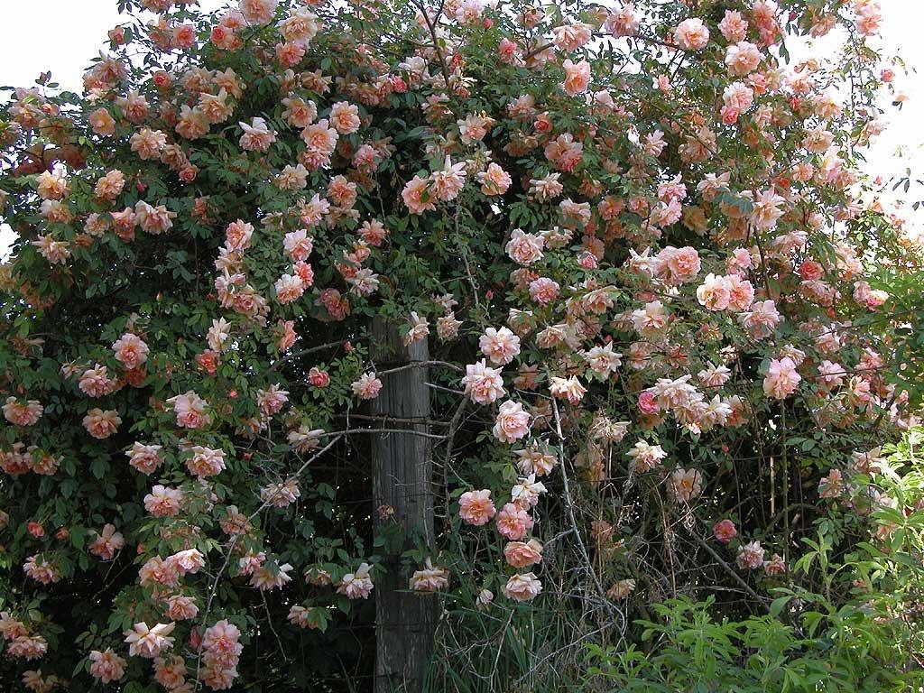 Клаймберы и клаймбинги розы