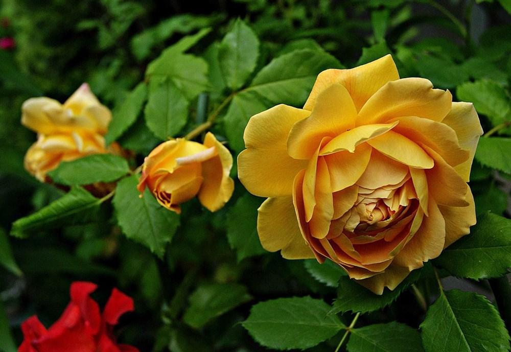 Сорт Голден розы