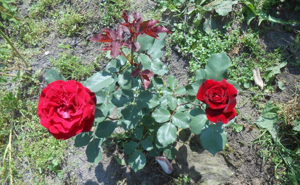 Подкормка плетистой розы