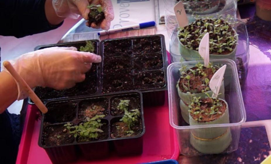 астильба выращивание