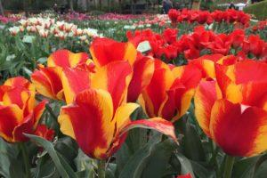тюльпаны грейга сорта