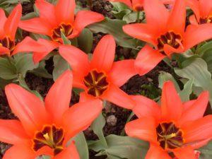 Популярность тюльпанов фостера