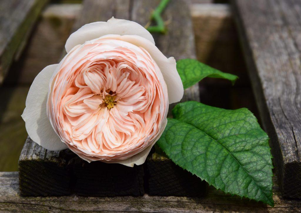 Подкормка роз Остина