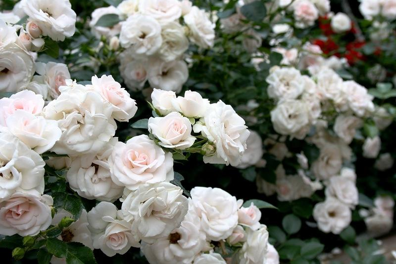 роза флорибунда тантау