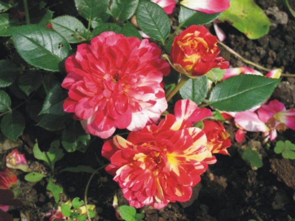 Миниатюрные розы - бигуди