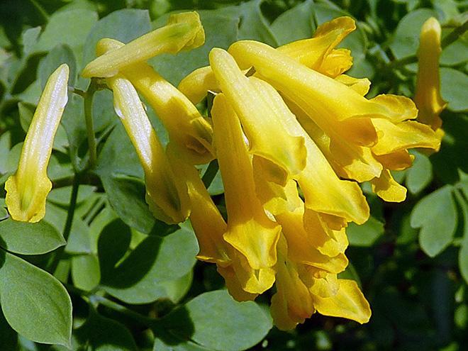 """Сорт """"Corydalis lutea"""""""