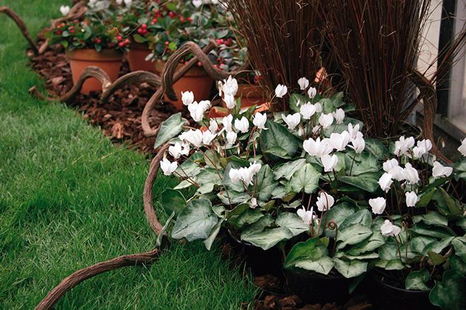 Цикламен растет в саду