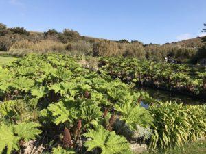 гуннера растения для водоемов