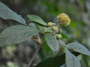 элеутерококк выращивание и уход