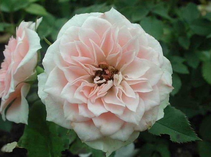 Миниатюрные розы - Даниэла