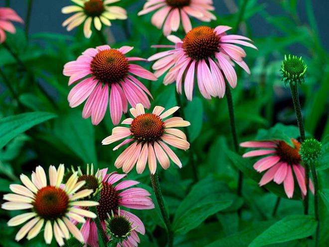 Цветы Эхинацея