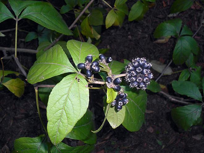 Элеутерококк типа сидячецветковый