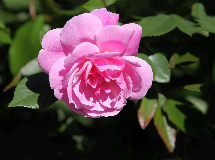 Миниатюрные розы - Фреш Пинк