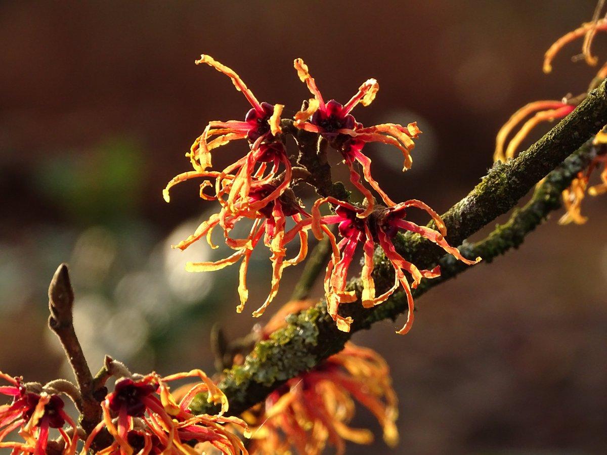 Гамамелис Оранжевая красота