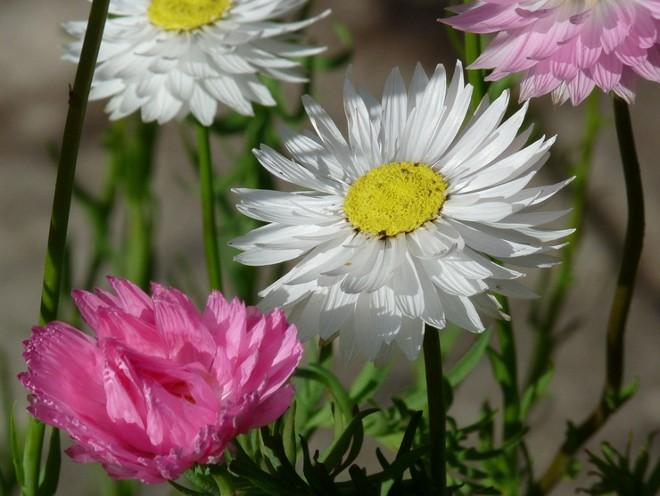 гелиптерум белый и розовый