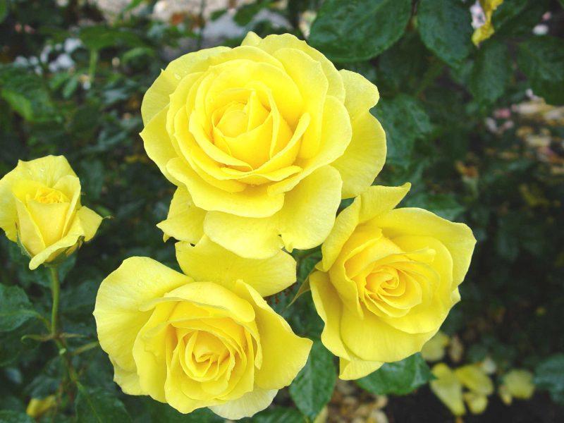 Миниатюрные розы - Голд Симфони