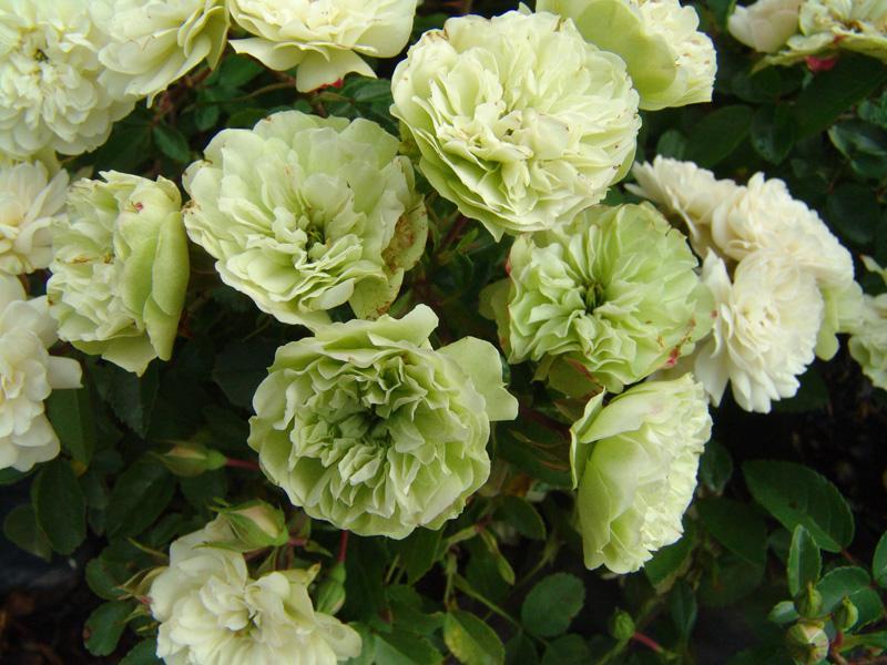 Миниатюрные розы - Грин Айс
