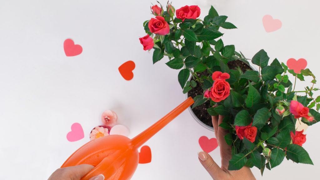 полив Миниатюрных роз