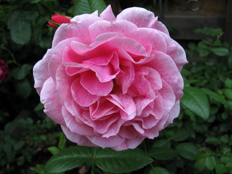 роза Камелот