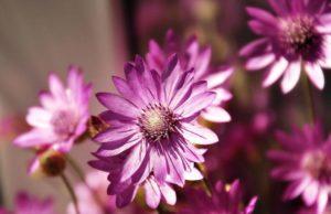 цветок ксерантемум