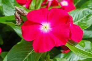 катарантус выращивание