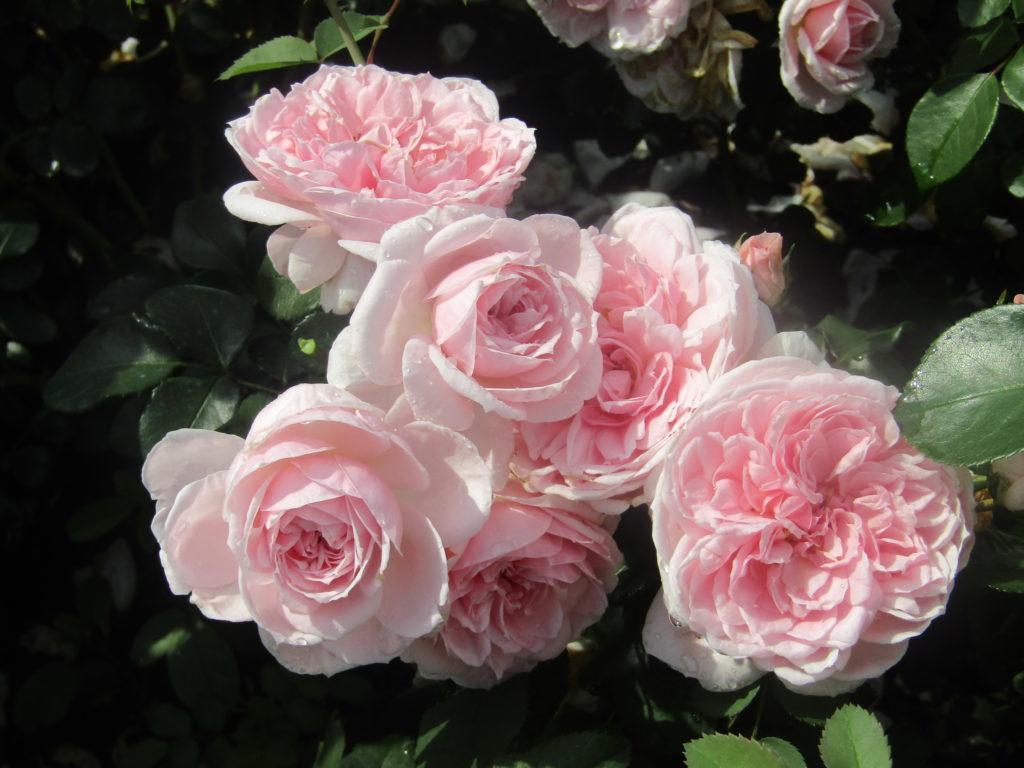 Миниатюрные розы - Киндерелла