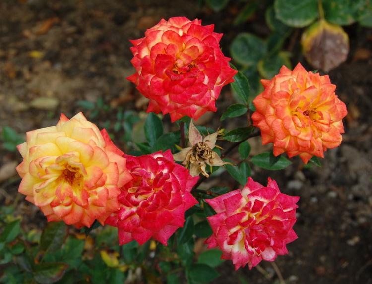 Миниатюрные розы - Колибри
