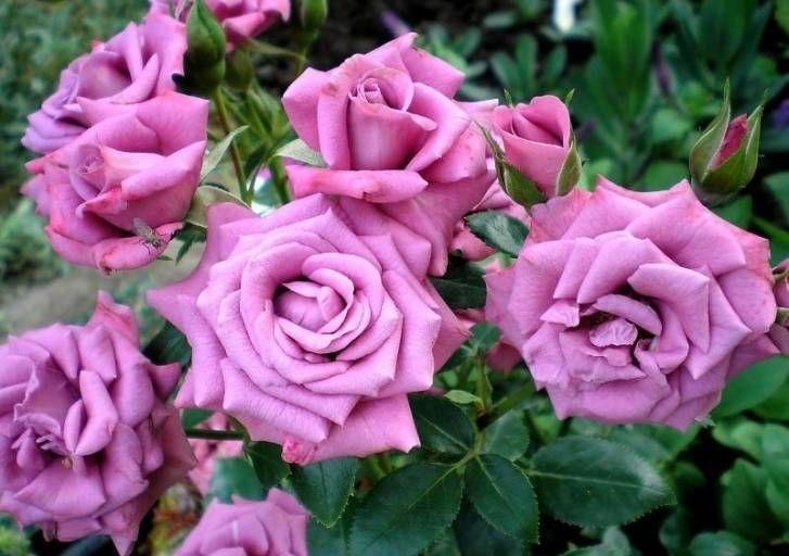 Миниатюрные розы - Лавандер Мейландина