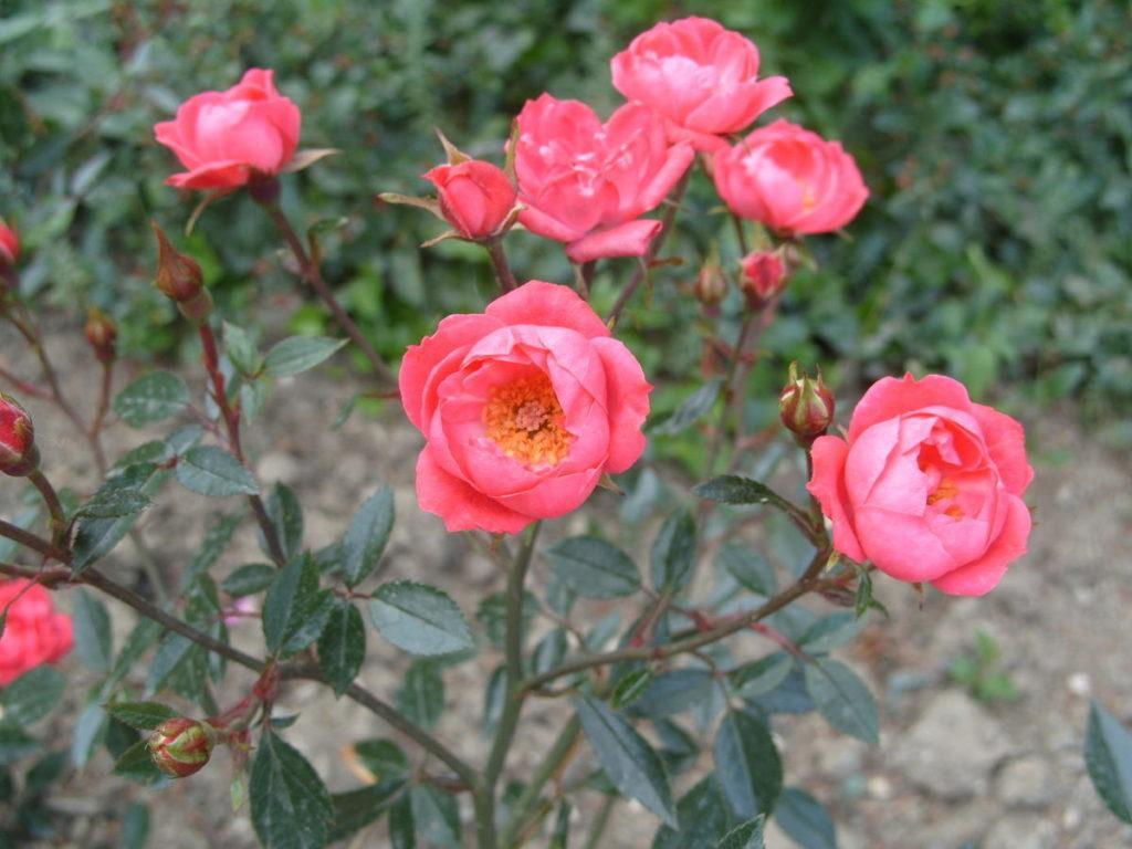 Миниатюрные розы - Мальчик-с-Пальчик