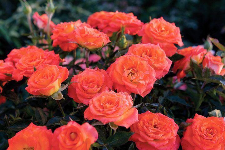 Миниатюрные розы - Мандарин Симфони