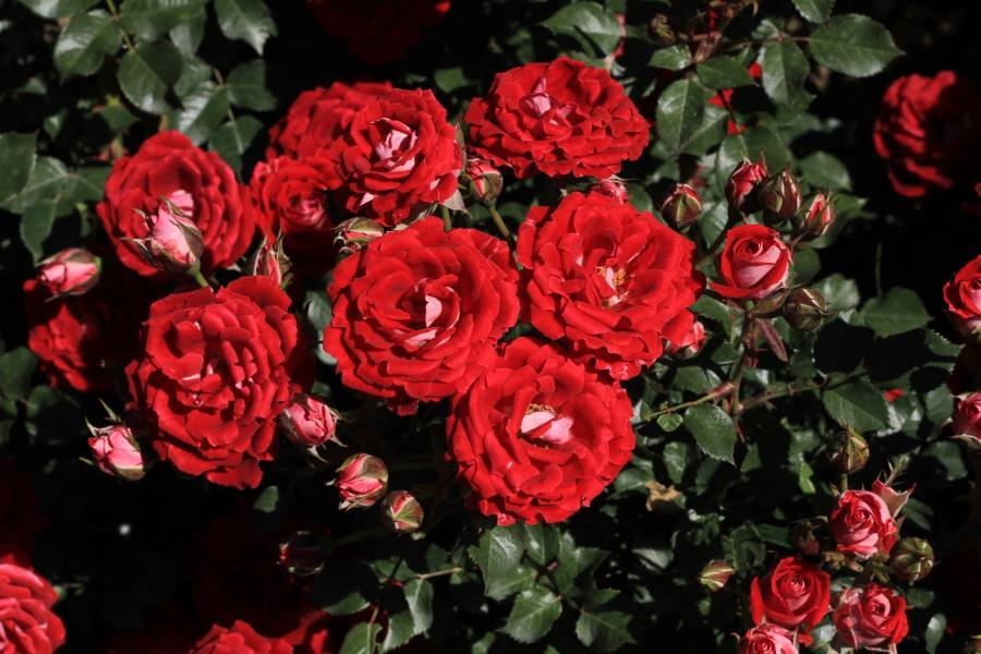 Миниатюрные розы - Мейди