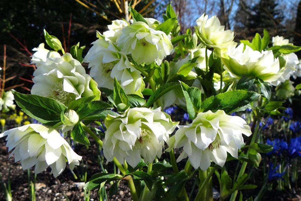 Морозник: описание и особенности растения