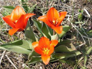 тюльпаны грейга описание