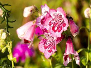 пенстемон цветок