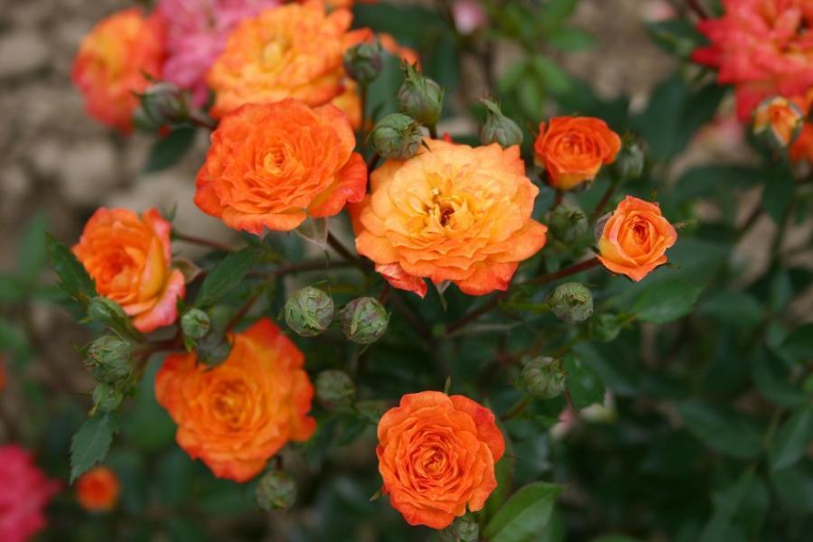 Миниатюрные розы - Санмейд