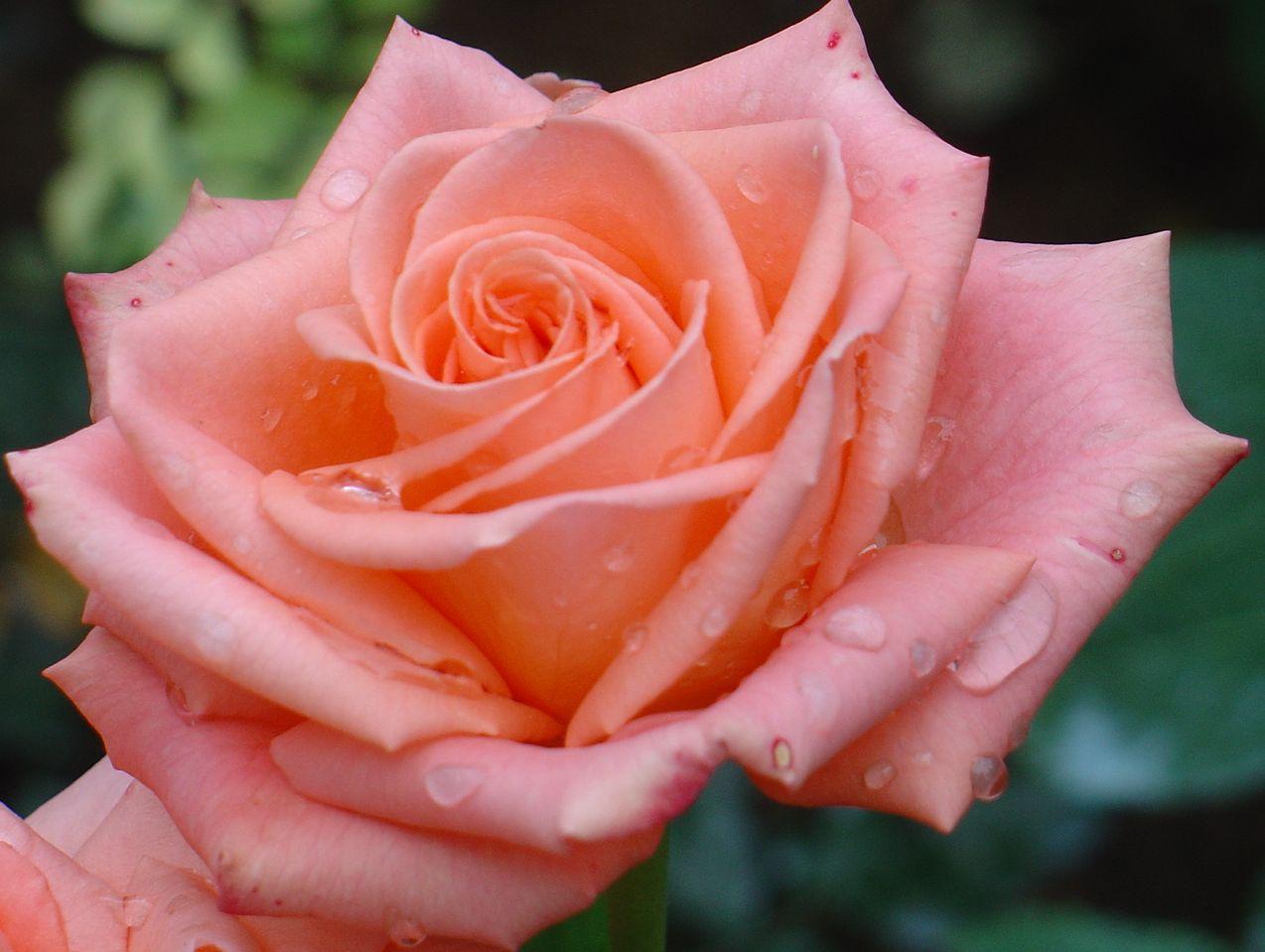 название чайно гибридных роз