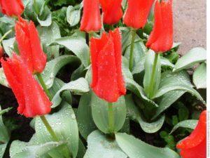 Бутоны тюльпанов фостера