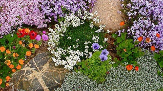 Арабис в саду