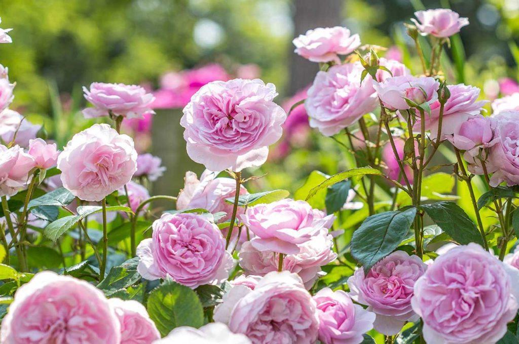 Выращивание роз Остина
