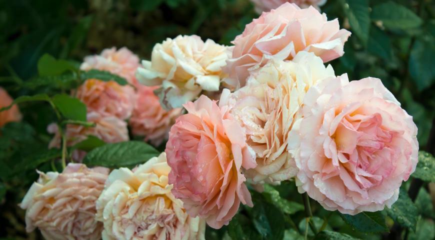 розы тантау отзывы